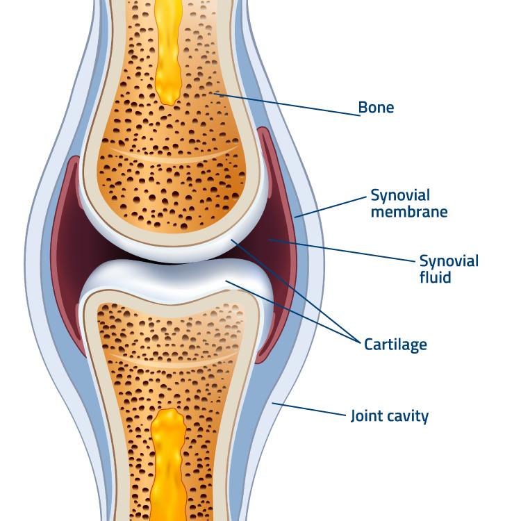 flexofytol-articulations-schema-en