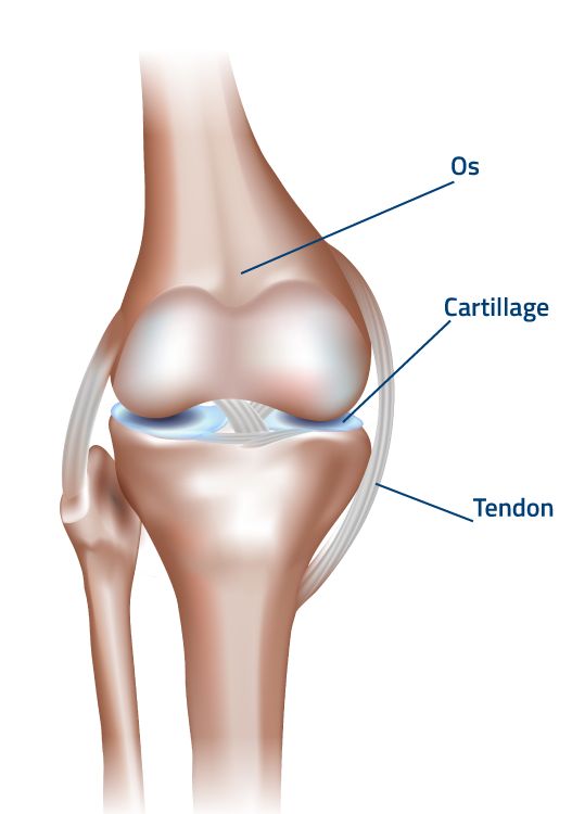 FLEXOFYTOL-tendons-schema-FR
